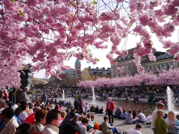 Kärlek och körsbärsblom, två företeelser som får sin kulmen på våren. Bilden från Kungsträdgården, Stockholm